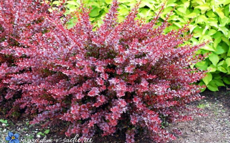 Вереск обыкновенный «Агнес» (Calluna vulgaris «Agnes»)