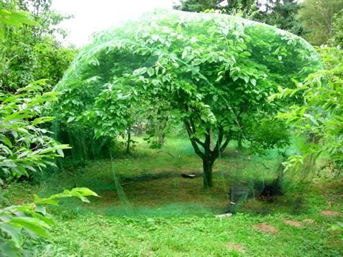 Шелковица черная «Иллинойс Everbearing»(morus «Illinois Everbearing»)