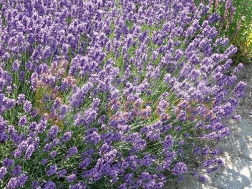 Лаванда «Дварф Блю» (angustifolia «dwarf blue»)