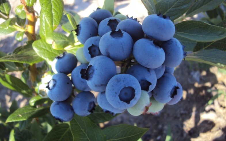 Голубика высокорослая «Бонус» (Vaccinium corymbosum «Bonus»)