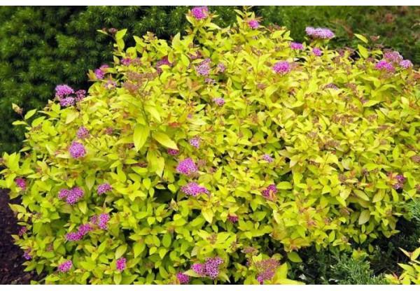 Спирея японская «Голден принцесс»(Spiraea japonica «Golden Princess»)