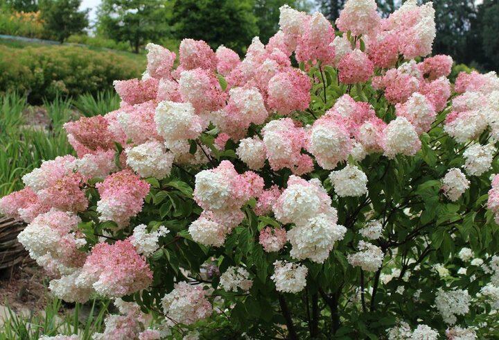 Гортензия «Ванилла фрейз»(Hydrangea paniculata «Vanille Fraise»)