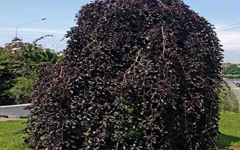 Береза повислая «Пурпурея»(Betula pendula «Purpurea»)