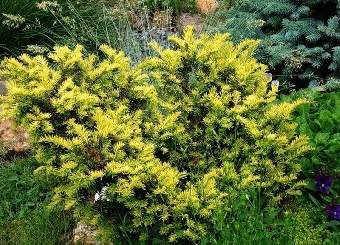 Тис ягодный «Aurea» (Taxus baccata  Aurea)