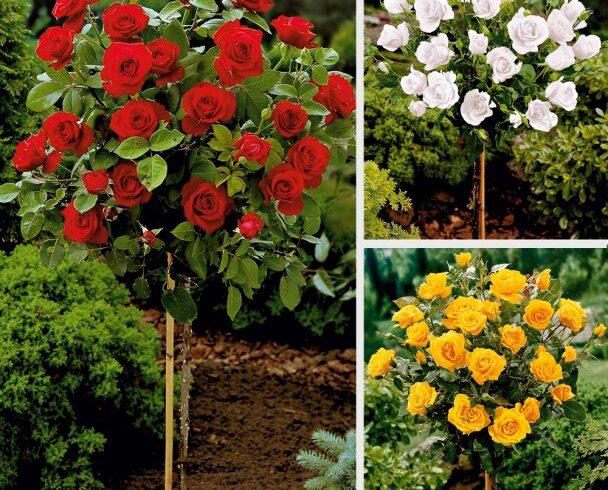 Роза на штамбе в ассортименте (пр-во Сербия)