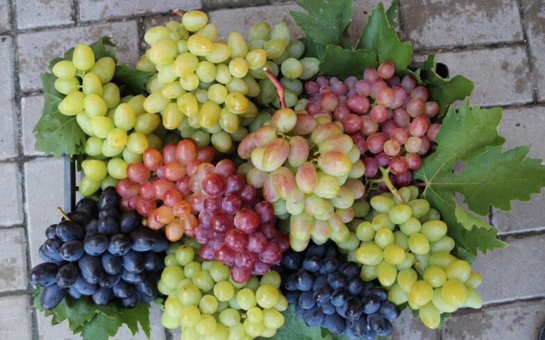 Саженцы Винограда (виноград ЗКС) с закрытой корневой системой