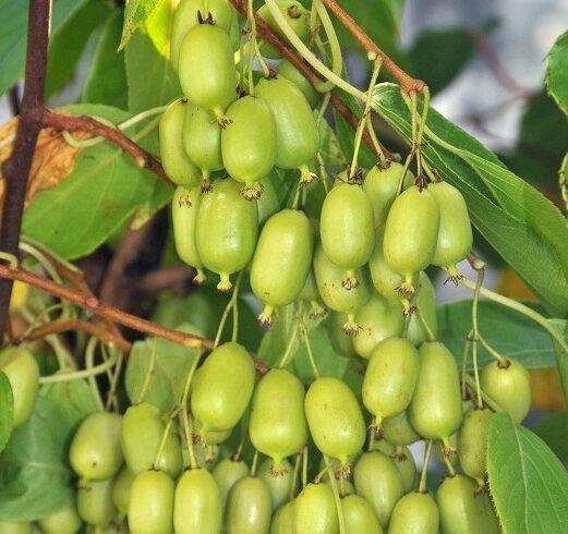 Актинидия остролистная Иссаи   (Actinidia arguta 'Issai')