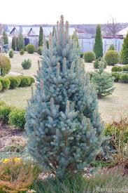 Ель колючая Изели Фастигиата — Picea pungens 'Iseli Fastigiate