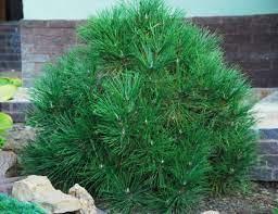 Сосна чёрная Спилберг (Pinus nigra Spielberg)